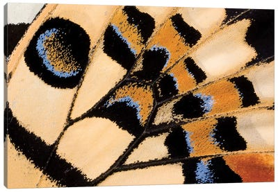 Common Lime Butterfly Wing Detail Showing False Eyespot, Asia Canvas Art Print