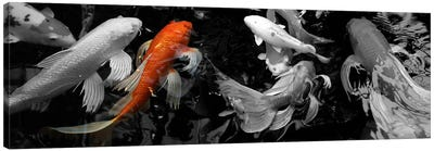 Koi Carp swimming underwater Color Pop Canvas Art Print