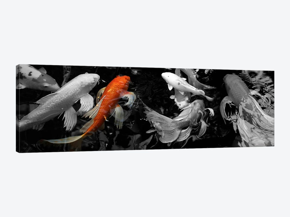 Koi carp swimming underwater color pop canvas print icanvas for Koi carp pond depth