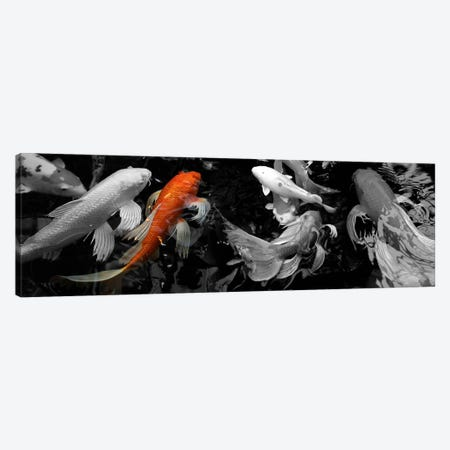 Koi Carp swimming underwater Color Pop Canvas Print #ICA1186} by Panoramic Images Canvas Print