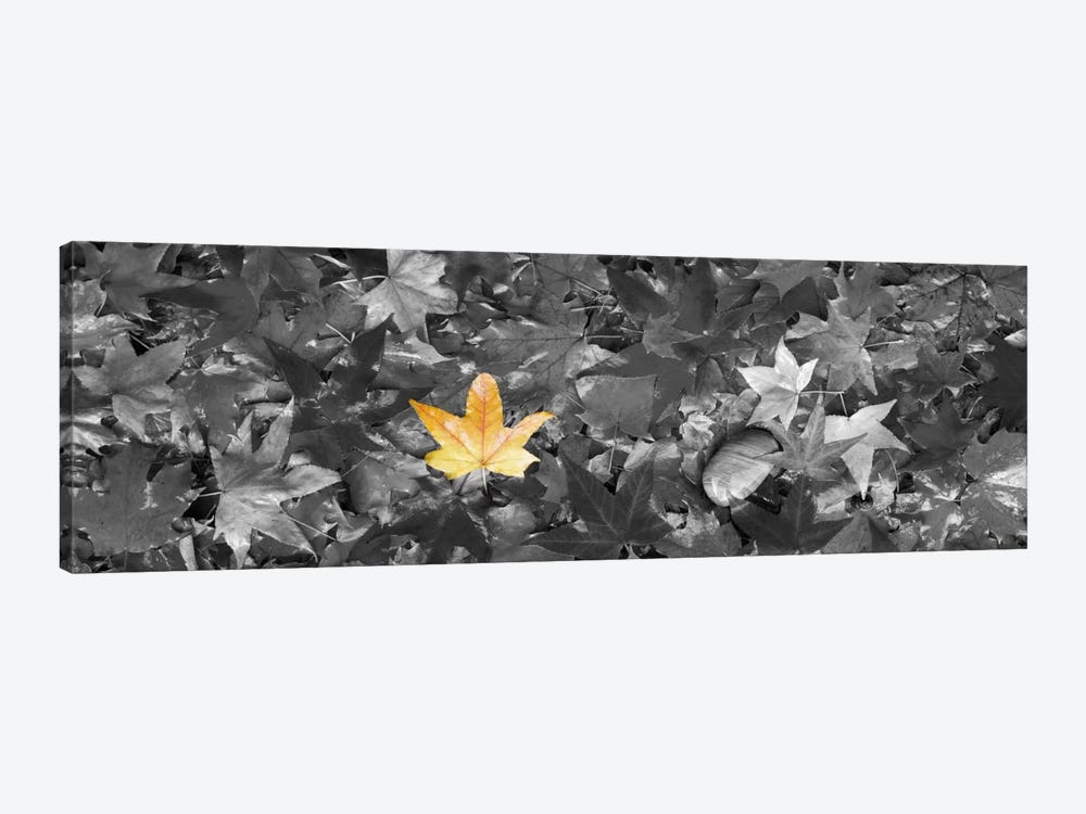 Maple leaves Color Pop by Panoramic Images 1-piece Canvas Art Print