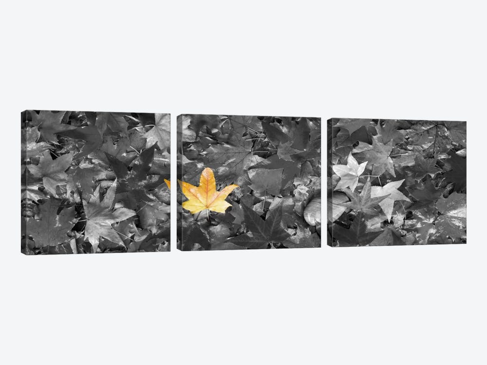 Maple leaves Color Pop by Panoramic Images 3-piece Canvas Print