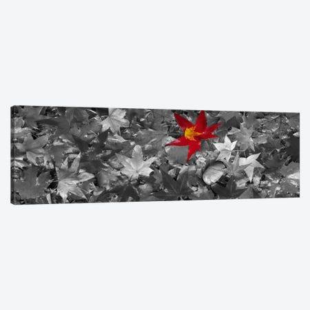 Maple leaves Color Pop #2 Canvas Print #ICA1191} by Panoramic Images Canvas Print