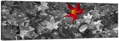 Maple leaves Color Pop #2 Canvas Art Print