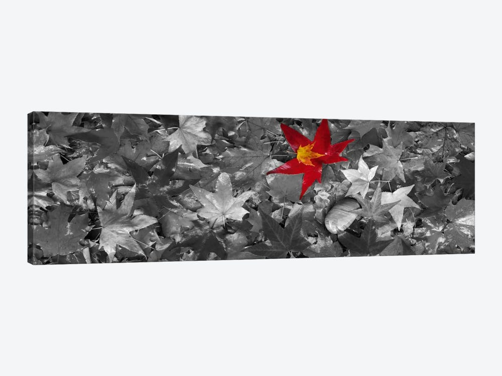 Maple leaves Color Pop #2 by Panoramic Images 1-piece Canvas Wall Art