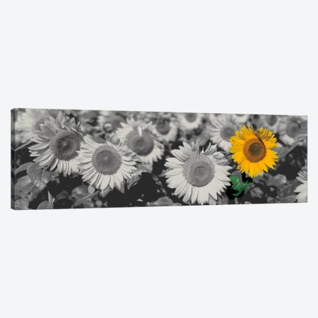 Sun Flowers Color Pop Canvas Print #ICA1203} by Panoramic Images Canvas Art Print