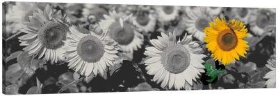 Sun Flowers Color Pop Canvas Print #ICA1203