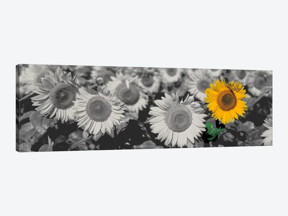 Sun Flowers Color Pop by Panoramic Images 1-piece Art Print