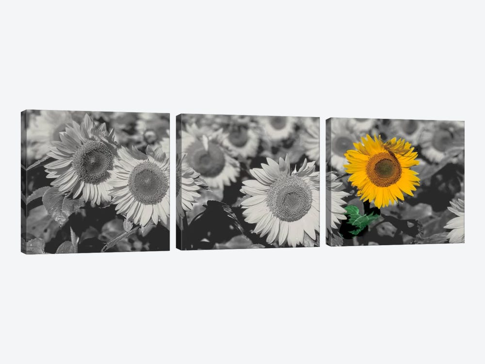 Sun Flowers Color Pop by Panoramic Images 3-piece Canvas Print
