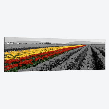 Tulip Field, Mount Vernon, Washington State, USA Color Pop Canvas Print #ICA1209} by Panoramic Images Art Print