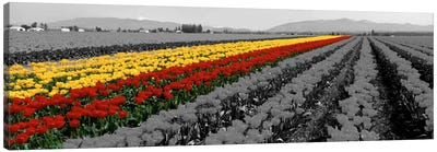 Tulip Field, Mount Vernon, Washington State, USA Color Pop Canvas Art Print