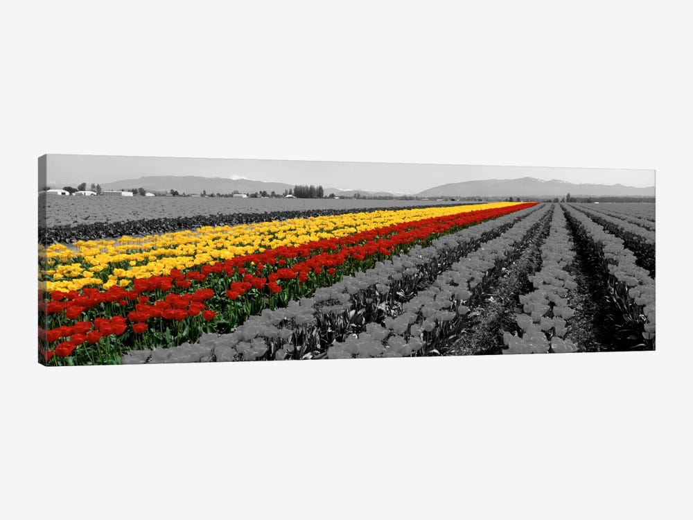 Tulip Field, Mount Vernon, Washington State, USA Color Pop by Panoramic Images 1-piece Art Print
