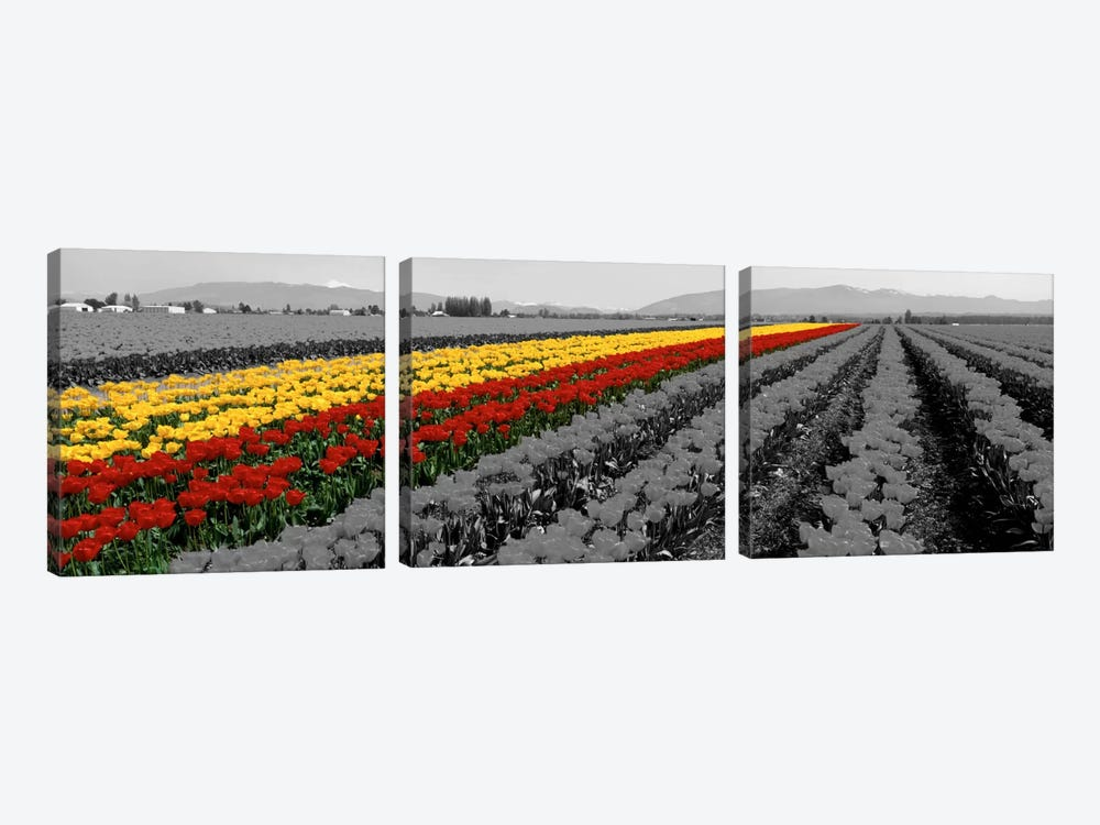 Tulip Field, Mount Vernon, Washington State, USA Color Pop by Panoramic Images 3-piece Canvas Print