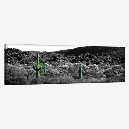 Saguaro cactus (Carnegiea gigantea) in a field, Sonoran Desert, Arizona, USA Color Pop Canvas Print #ICA1269} by Panoramic Images Canvas Art Print