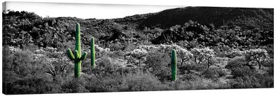 Saguaro cactus (Carnegiea gigantea) in a field, Sonoran Desert, Arizona, USA Color Pop Canvas Art Print