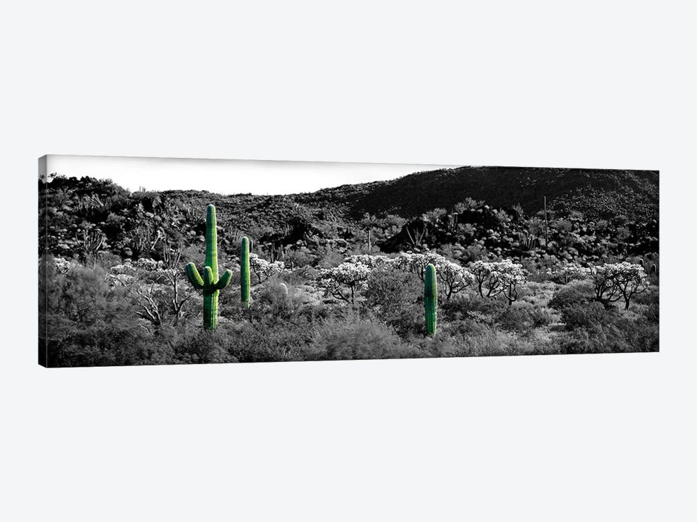 Saguaro cactus (Carnegiea gigantea) in a field, Sonoran Desert, Arizona, USA Color Pop by Panoramic Images 1-piece Canvas Art Print