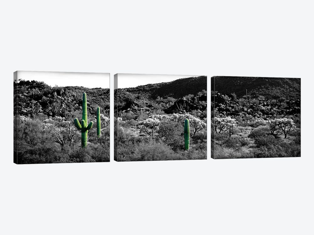 Saguaro cactus (Carnegiea gigantea) in a field, Sonoran Desert, Arizona, USA Color Pop by Panoramic Images 3-piece Canvas Print