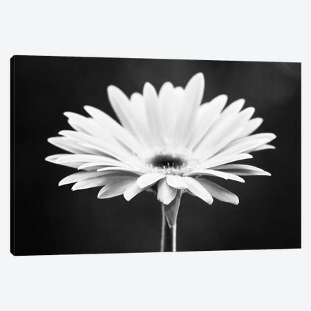 Daisy Canvas Print #ICS118} by Carolyn Cochrane Canvas Artwork