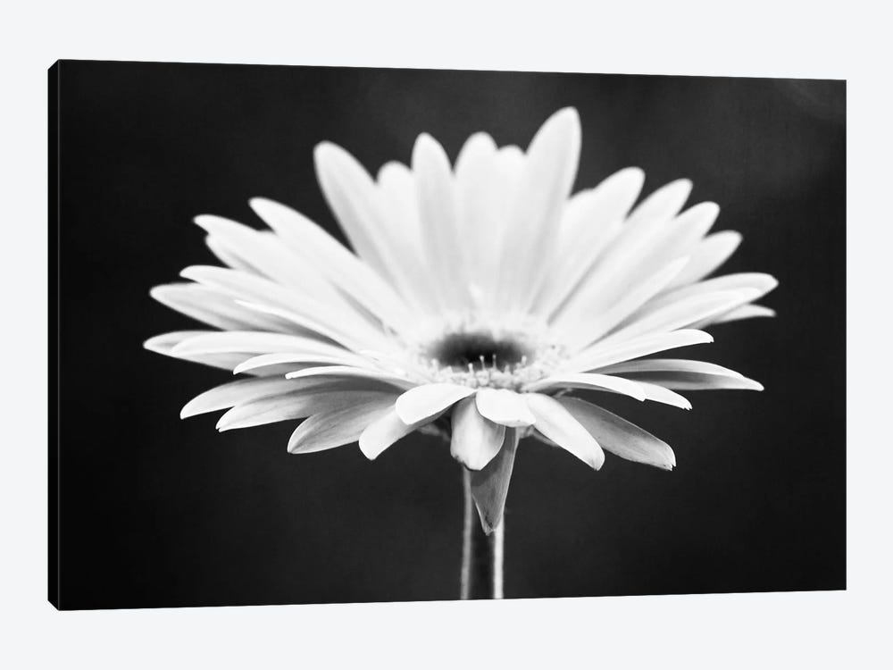 Daisy by Carolyn Cochrane 1-piece Canvas Wall Art