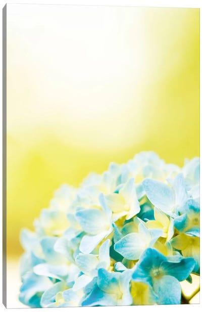Hydrangea Canvas Print #ICS163