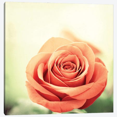 My Perfect Rose Canvas Print #ICS165} by Carolyn Cochrane Canvas Art