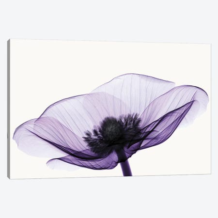 Anemone II Canvas Print #ICS174} by Robert Coop Canvas Art Print