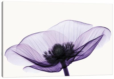 Anemone II Canvas Art Print