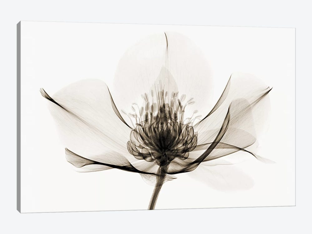 Hellebore I by Robert Coop 1-piece Art Print