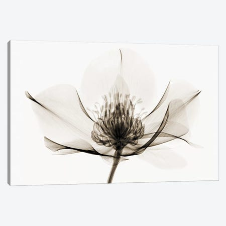 Hellebore I 3-Piece Canvas #ICS175} by Robert Coop Art Print