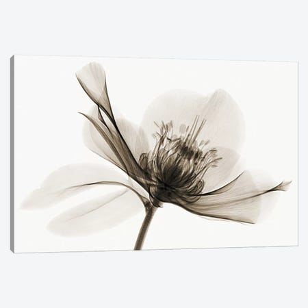Hellebore II Canvas Print #ICS176} by Robert Coop Art Print
