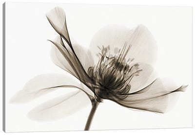 Hellebore II Canvas Art Print