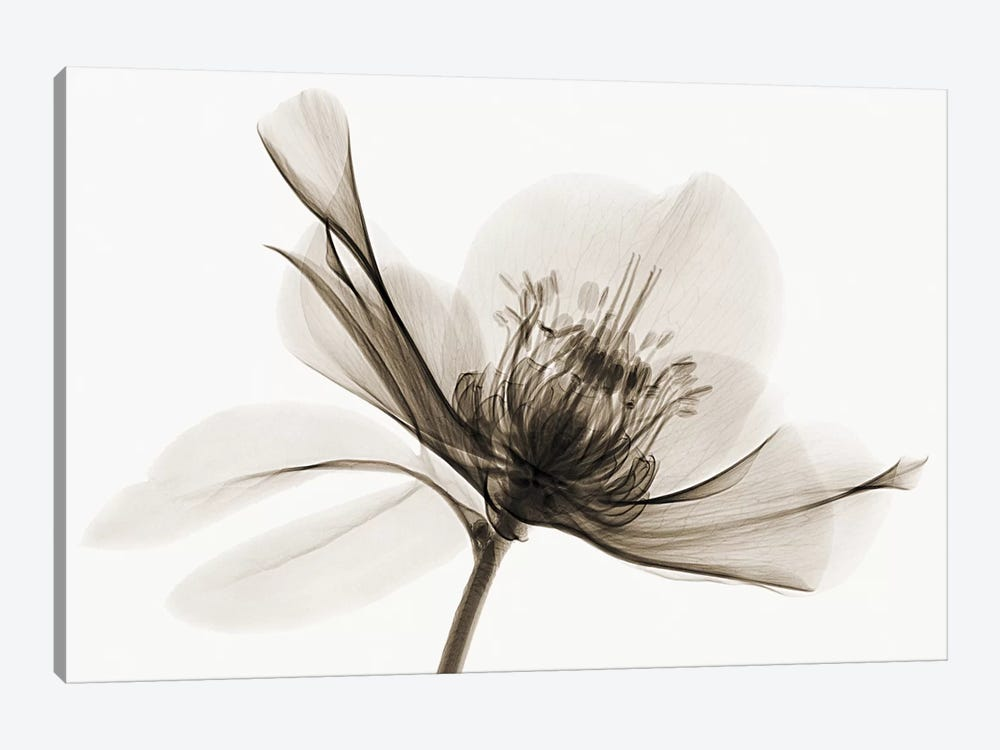 Hellebore II by Robert Coop 1-piece Canvas Artwork