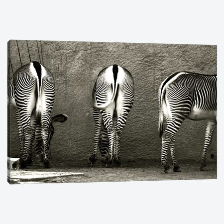 Zebra Butts Canvas Print #ICS339} by Courtney Lawhorn Canvas Art