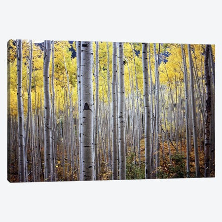 Birch Woods Canvas Print #ICS403} by PhotoINC Studio Canvas Wall Art