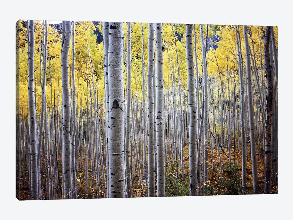 Birch Woods by PhotoINC Studio 1-piece Canvas Wall Art