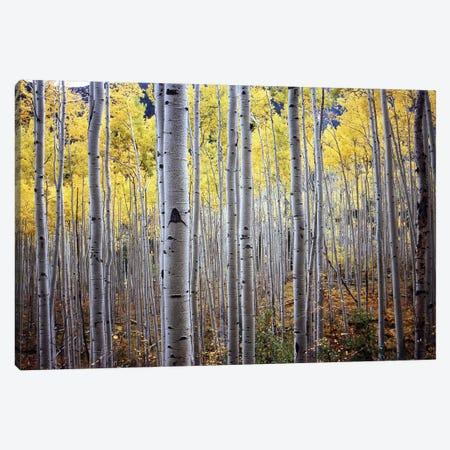 Birch Woods Canvas Print #ICS403} by PhotoINC Studio Canvas Wall Art