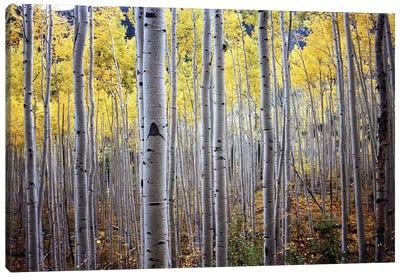 Birch Woods Canvas Art Print
