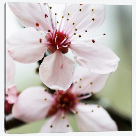 Cherry Flower 2 Canvas Print #ICS406} by PhotoINC Studio Canvas Print