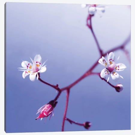Cherry Flower 3 Canvas Print #ICS407} by PhotoINC Studio Canvas Print