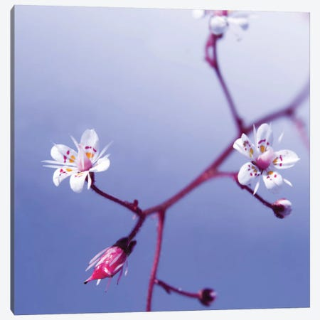 Cherry Flower 3 Canvas Print #ICS407} by PhotoINC Studio Canvas Print