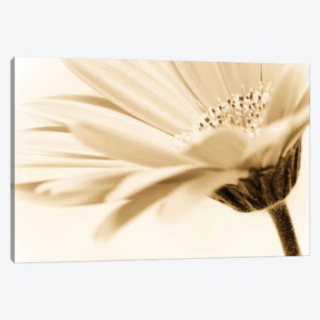 Daisy Canvas Print #ICS408} by PhotoINC Studio Canvas Wall Art