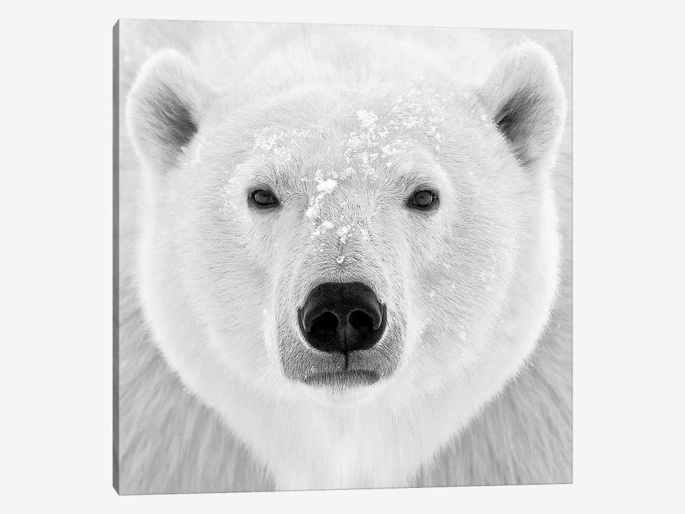 Polar Bear by PhotoINC Studio 1-piece Canvas Print