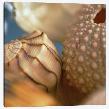Shells 1 Canvas Print #ICS428} by PhotoINC Studio Canvas Artwork