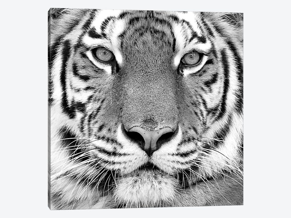 Tiger by PhotoINC Studio 1-piece Art Print