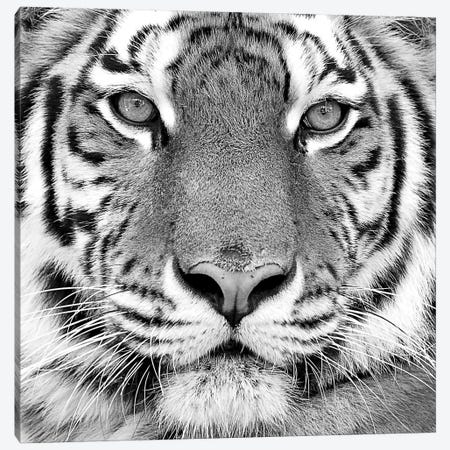 Tiger Canvas Print #ICS433} by PhotoINC Studio Canvas Art Print