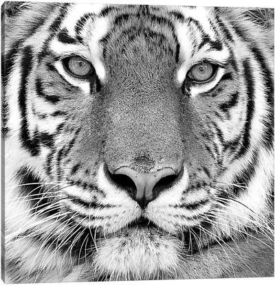 Tiger Canvas Print #ICS433