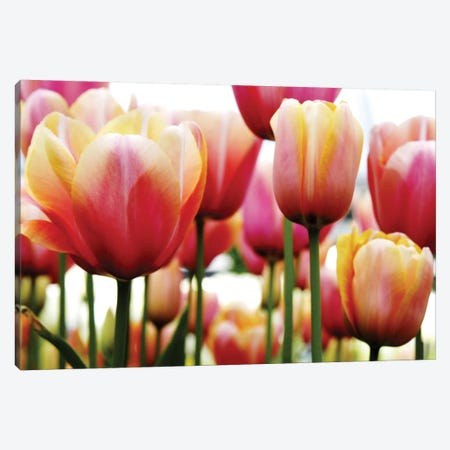 Tulips Canvas Print #ICS435} by PhotoINC Studio Canvas Art