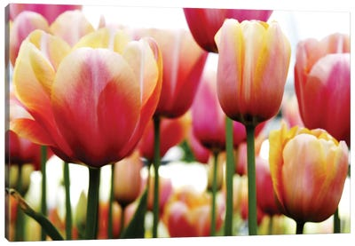 Tulips Canvas Art Print