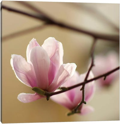 Tulip Tree 1 Canvas Art Print