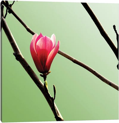 Tulip Tree 3 Canvas Art Print